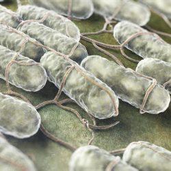 kultury bakterii salmonelli